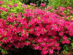 New Garden Plans Zone 5 Perennials Ideas - Flower Garden İdeas İn Front Of House Long Blooming Perennials, Flowers Perennials, Planting Flowers, Zone 5 Plants, Plant Zones, Evergreen Shrubs, Flowering Shrubs, Gardening Zones, Gardening Tips