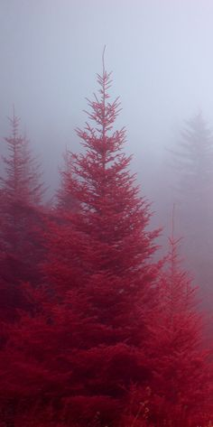 Fog enshrouded Fraser firs in the Blue Ridge Parkway of North Carolina • photo: Clark Hecker on Flickr