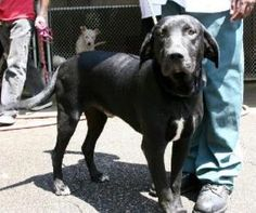 Oscar is an adoptable Black Labrador Retriever Dog in Washington, DC.  Black Labrador Retriever, male, 3-years-old, 70 pounds If you are viewing Oscar on Petfinder, please click below for more details...