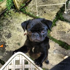 Baby pug would like some of your noms please