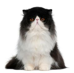 Black Persian Cats | persian cat photo gallery this gallery of persian cat pictures shows ...