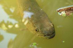 Como pescar Traíra