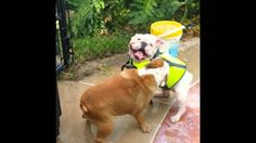 The English Bulldog, Jäger reacts quickly to save her housemate from the swimming pool.