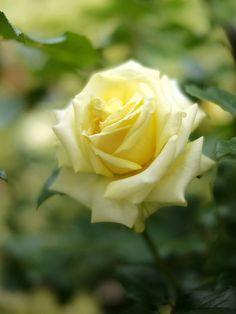 Hybrid Tea Rose: Rosa 'Hoshizukuyo' <星月夜> (Japan, 1990)