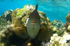 Territorial fish attacks snorkeler's GoPro camera