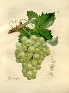 1000 ideas about vitis vinifera on pinterest photo illustration botanical prints and. Black Bedroom Furniture Sets. Home Design Ideas