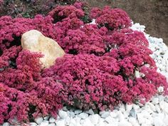 """SUNSPARKLER® Sedum 'Dazzleberry' New Groundcover Sedum only 8"""" tall and 18"""" wide Giant 6-8"""" bright raspberry flowerheads Smoky blue foliage is colorful all season Over 7+ weeks of non-fading flower color Zone 4,5,6,7,8,9 Blooms Summer-Fall 8"""" x 18"""""""
