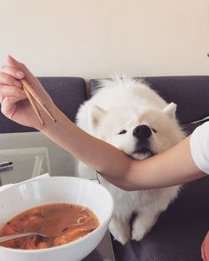 ok ok you can have all my food #samoyed #dogs #doglovers #dogstares #dognose #lunchtime