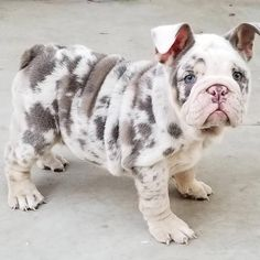 If you've been looking for an English Bulldog to brag about you've found us.English Bulldog puppies from a breeder with an excellent reputation. Not your average Bulldog puppies. Baby Dogs, Pet Dogs, Pets, Doggies, Cute Puppies, Dogs And Puppies, Maltese Dogs, Corgi Puppies, Chihuahua Dogs