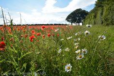 Friday Flora – Papaver rhoeas, the field poppy Cotswold Wildlife Park, Replant, Wildflowers, Planting, Poppy, Fields, Nest, Flora, Friday