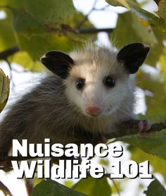 Bats, opossums, raccoons and squirrels, oh my! Here's a guide to identifying common wild animal invaders.