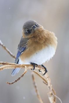 Female bluebird by cheryl.rose83