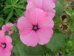 SD1500-0561 Beautiful Sunflower - Beauty Flower Seeds, Bright Pink Color Petals, 60-Days Money Back Guarantee (35 Seeds) PlantGrabber,http://www.amazon.ca/dp/B00FB3SG8O/ref=cm_sw_r_pi_dp_TJ1Ctb06YPNJSJSK