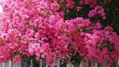 Five Plants You Think Are Native But Aren't - Blue Water Baltimore Lagerstroemia, Habitat Destruction, Native Plants, Myrtle, Habitats, Outdoor Gardens, Nativity, Thinking Of You, Wildlife