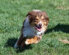 Whiskey is an adoptable Australian Shepherd Dog in Ottawa, ON. 2-3 Year old Male mini Aussie. This shy guy has come a long way since his rescue. He is believed to be a puppy mill survivor and as his f...