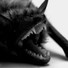 Bats are flying mammals in the order Chiroptera. The forelimbs of bats are webbed and developed as wings, making them the only mammals naturally capable of true Ugly Animals, Cute Animals, Scary Animals, Murcielago Animal, Beautiful Creatures, Animals Beautiful, Bat Species, Creatures Of The Night, Tier Fotos