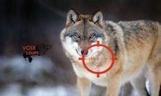 Nature et environnement - Signez la pétition : Nous demandons l'arrêt des tirs sur les loups !