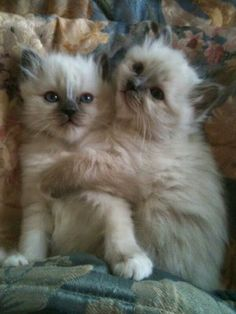 Birman cats - Birman Cat - Ideas of Birman Cat - Birman cats The post Birman cats appeared first on Cat Gig. Pretty Cats, Beautiful Cats, Animals Beautiful, Birman Kittens, Cats And Kittens, Kittens Playing, Ragdoll Cats, Cute Cat Gif, Cute Cats