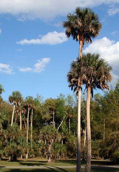 Sabal palmetto, aka Sabal palm or Cabbage palm - a great design plant!