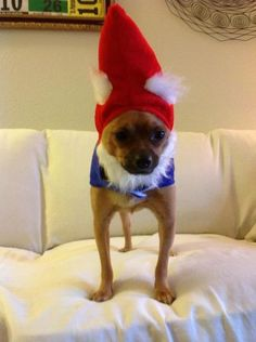 Chihuahuas Dressed Ridiculously Cute On Pinterest Chihuahuas Dog Costumes And Halloween Costumes