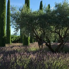 #lavender field in a #mistral #bonnieux #provence this morning  sunshine #cypress #trees #oleander #boxwood and #roses #olives #cherry #orchards #lifeisbeautiful #fragrance #beauty #simplicity #languishing in #sunshine #bastilleday