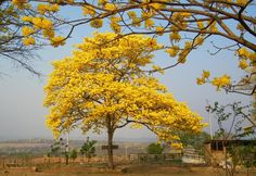 Venezuela National Tree   Share