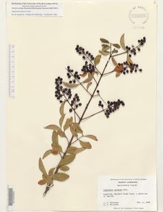 Ligustrum_sinense,Resources for Botanical Sketchbooks, , Resources for Art Students at CAPI::: Create Art Portfolio Ideas milliande.com, Art School Portfolio Work, , Botanical, Flowers, Plants, Leaves,Stem Seed, Sketching, Herbarium