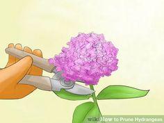 Image titled Prune Hydrangeas Step 2