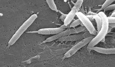 Prírodný liek na Helicobactera a baktérie, ktoré spôsobujú tvorbu vredov