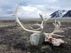 Reindeer skull Gravneset (an old whaling outpost) in the Magdalenefjorden, Svalbard