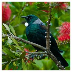 Tui in Bottlebrush tree (Callistemon) The flowers are one of their favourites for nectar. All Birds, Love Birds, Beautiful Birds, Animals Beautiful, Tui Bird, New Zealand Art, Maori Art, Kiwiana, Exotic Birds