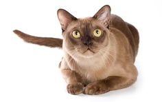Burmese Cats Breed