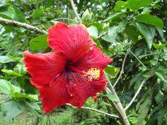 Very Beautiful Red Hibiscus Flower Hibiscus Flowers, Red Flowers, Wallpaper Downloads, Flower Wallpaper, Lawn And Garden, Planting Flowers, Plants, Beautiful, Recherche Google