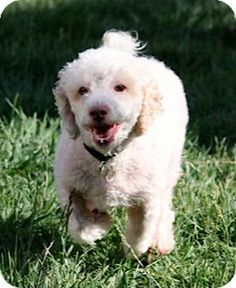 MURPHY was rescued from a high kill shelter in Orange County. We think he is a poodle/bichon mix and is about 2 years old. Murphy will do best in a home without children. MURPHY has such a love of life. He loves to go for walks and is good on a leash.  He enjoys running around the yard, chasing a basketball, or fetching his toy. MURPHY enjoys being petted, does not mind a bath, and loves to be brushed; he does not shed. He is neutered, housebroken, crate trained and up to date on all shots.