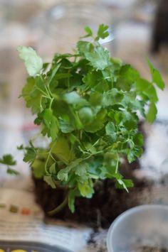 DIY Indoor-Kräutergarten: Schritt für Schritt Anleitung Diy Herb Garden, Herbs Indoors, Kraut, Step By Step Instructions, Lettuce, Diys, Homemade, Vegetables, Anstatt