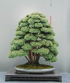 Bonsai Gallery of Walter Pal #bonsai Gallery of Walter Pall