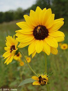 Helianthus petiolaris (Prairie Sunflower)