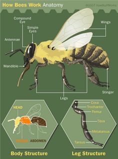Bee anatomy is similar to other insects' and consists of the head, thorax and abdomen. Learn about bee anatomy and view pictures of basic bee anatomy.