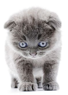 scottish fold munchkin kittens for sale Cute Cats