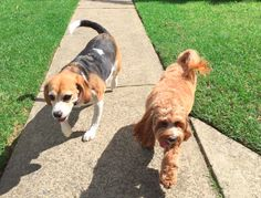 Lola  &  Taffy Beagle and Cavoodle | Pawshake