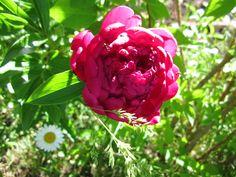 По фактуре листвы идеальными партнерами для пиона могут выступить флоксы, лилейники, очитки, ирисы и фитолакка, а по вертикальной структуре — наперстянка, вероникаструм, мискантус, ваточник или дельфиниум, играющие на контрасте удлиненных соцветий и крупных круглых цветков. Если же пионы растут у края цветника, то рядом высадите окантовку из приземистых растений — это могут быть фиалки, манжетки, астры, примулы, гейхеры и т.п.