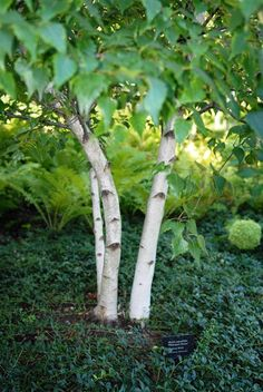 Birches Paper And Pictures Of On Pinterest