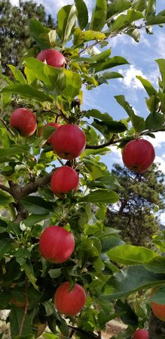 Inspecting Gala apples Apples, Fruit, Blog, Blogging, Apple