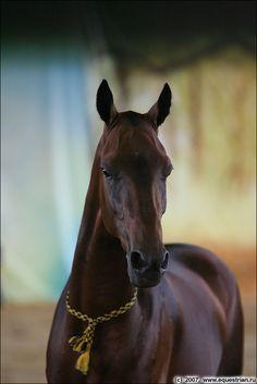 Akhal Teke- Pretty but sometimes flighty. Most Beautiful Horses, All The Pretty Horses, Rare Horses, Wild Horses, Zebras, Beautiful Creatures, Animals Beautiful, Planeta Animal, Akhal Teke Horses