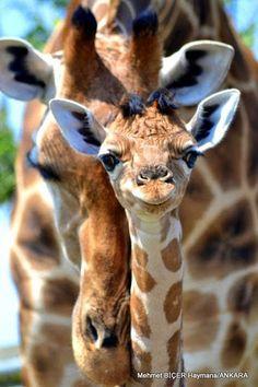 Anne ile Yavru Zürafa