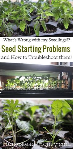 Indoor Gardening Quick, Clean Up, And Pesticide Free - Make Your Own Learn Some Common Seed Starting Problems And How To Troubleshoot And Prevent Them So Your Plant Seedlings Look Just As Good As Those From The Garden Center Homestead Honey Small Backyard Gardens, Backyard Farming, Modern Backyard, Small Backyards, Growing Tomatoes In Containers, Growing Vegetables, Grow Tomatoes, Tomato Seedlings, Diy Simple