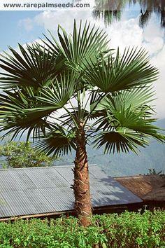 Trachycarpus latisectus - acheter des semences à rarepalmseeds.com