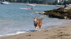 Jia Jia's favourite activity is to chase the waves at the doggy beach - Vancouver.