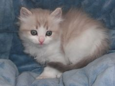 Kittens New Homes - Rustsragdolls Mink, Sepia and Traditional ...