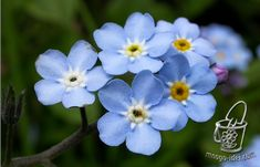 Forget-me-nots a master class Good afternoon dear friends, today we will consider a master class on production of a forget-me-not from a foamiran. Forget-me-nots - beautiful, with gentle-blue flowers // Ирина Лащенова Sugar Flowers, Silk Flowers, Blue Flowers, Paper Flowers, Paper Flower Tutorial, Forget Me Not, Cold Porcelain, Handmade Flowers, Master Class